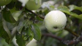 Árvore de maçãs molhada video estoque