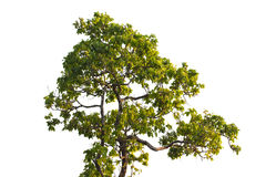 A árvore de madeira do ferro é decíduo isolada no fundo branco (Pyinka Imagem de Stock Royalty Free