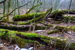 Árvore de madeira velha Imagens de Stock Royalty Free