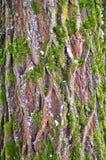 Árvore de madeira velha com musgo. Teste padrão do fundo da textura Fotografia de Stock