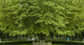 Árvore de Maidenhair foto de stock