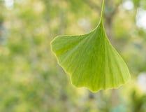 Árvore de maidenhair da folha do biloba da nogueira-do-Japão fotos de stock