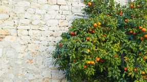 Árvore de mandarino Fotos de Stock Royalty Free
