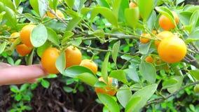 Árvore de mandarino vídeos de arquivo