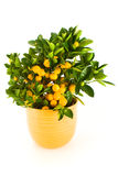 Árvore de mandarino. Fotos de Stock Royalty Free