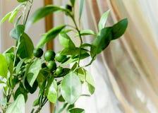 Árvore de mandarino Imagens de Stock