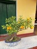 Árvore de mandarino pequena imagem de stock