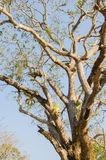 Árvore de manga das pessoas de 100 anos Imagem de Stock