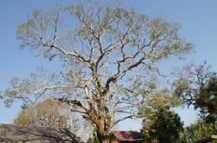 Árvore de manga das pessoas de 100 anos Foto de Stock Royalty Free