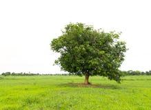 Árvore de manga na grama verde imagem de stock