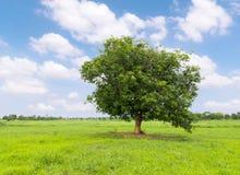 Árvore de manga na grama verde imagens de stock royalty free