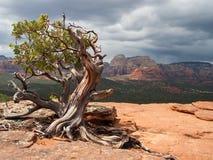 Árvore de Manzanita Fotos de Stock Royalty Free