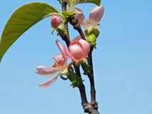 Árvore de marmelo da flor Fotografia de Stock Royalty Free