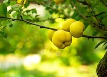 Árvore de marmelo que cresce no jardim no outono fotos de stock