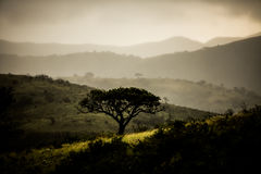 Árvore de Marula no inverno Fotografia de Stock Royalty Free