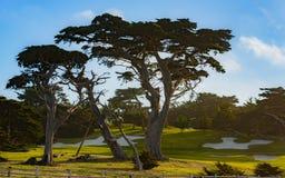 Árvore de Monterey Cypress foto de stock royalty free
