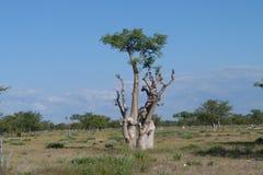 Árvore de Moringa Fotografia de Stock Royalty Free