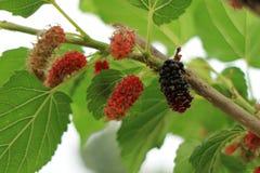 Árvore de Mulberry Imagem de Stock