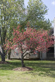 A árvore de Myrtle de Crape floresceu inteiramente na mola Fotos de Stock Royalty Free