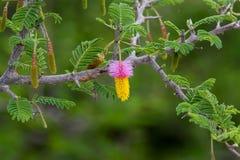 Árvore de Natal de Kalahari fotografia de stock royalty free