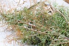 Árvore de Natal no lixo após a celebração do ano novo Fotos de Stock