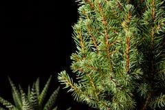 Árvore de Natal Ramos de árvore do abeto macro Abeto vermelho azul canadense Fotografia de Stock