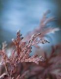 Árvore de Natal seca Fotografia de Stock Royalty Free