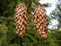 Árvore de Natal verde com cones imagem de stock royalty free
