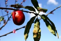 Árvore de nectarina fotos de stock
