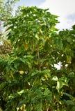 Árvore de Noni imagens de stock