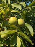 Árvore de noz com frutos fotos de stock royalty free