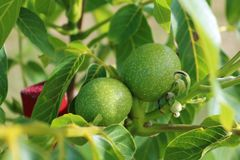 Árvore de noz Juglans regia com o fruto verde que começa amadurecer-se Noz verde em uma árvore Foto de Stock Royalty Free