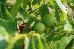 Árvore de noz Juglans regia com o fruto verde que começa amadurecer-se Noz verde em uma árvore Foto de Stock