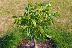 Árvore de noz Juglans regia com o fruto verde que começa amadurecer-se Noz verde em uma árvore Imagem de Stock