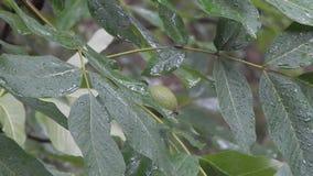 A árvore de noz sob as gotas da chuva video estoque