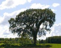 Árvore de olmo antiga fotos de stock royalty free