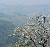 A árvore de orquídea branca de florescência ou a árvore da borboleta florescem o Bauhinia v imagens de stock