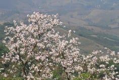 A árvore de orquídea branca de florescência ou a árvore da borboleta florescem o Bauhinia v fotos de stock royalty free