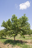 Árvore de pêssego Imagens de Stock Royalty Free