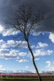 Árvore de pêssego fotos de stock royalty free