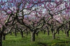 Árvore de pêssego fotografia de stock royalty free