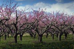 Árvore de pêssego foto de stock royalty free