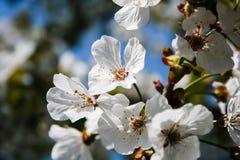 Árvore de pêssego Foto de Stock