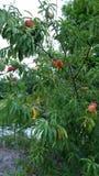 Árvore de pêssego Fotos de Stock