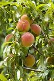 Árvore de pêssego Imagem de Stock Royalty Free