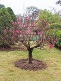 Árvore de pêssego de florescência Fotografia de Stock