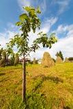 Árvore de pêssego do bebê Fotos de Stock Royalty Free