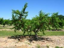 Árvore de pêssego em um pomar fotos de stock royalty free