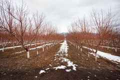 Árvore de pêssego no tempo de inverno fotografia de stock royalty free