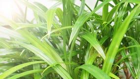 A árvore de Pandan no isolado da planta no fundo branco tem o alargamento da lente Fotografia de Stock